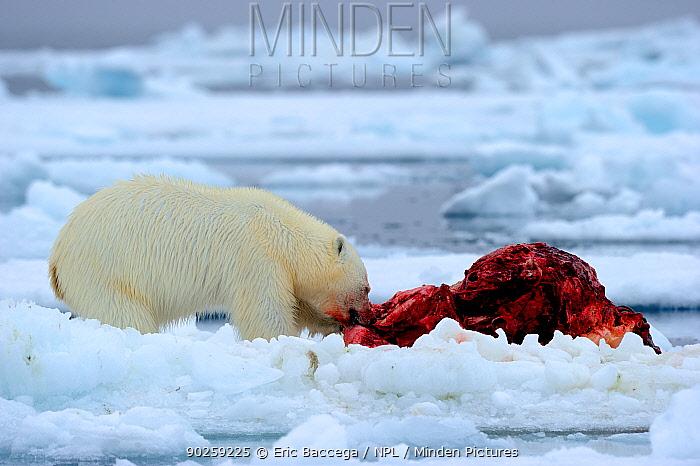 Polar Bear (Ursus maritimus) feeding on a Narwhal (Monodon monoceros) on icepack Floe edge, Arctic Bay, Baffin Island, Nunavut, Canada, April  -  Eric Baccega/ npl