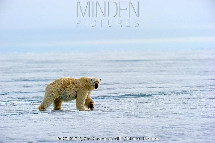 Polar Bear (Ursus maritimus) walking on icepack Floe edge, Arctic Bay, Baffin Island, Nunavut, Canada, April  -  Eric Baccega/ npl