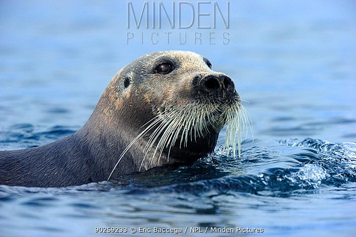 Bearded Seal (Erignathus barbatus) at the sea surface Foxe Basin, Nunavut, Canada, April  -  Eric Baccega/ npl