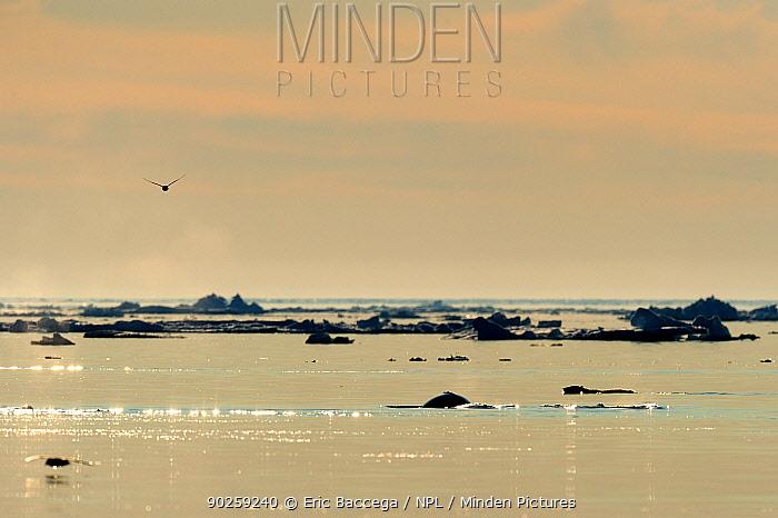 Polar Bear (Ursus maritimus) and a Beluga, White Whale (Delphinapterus leucas) at the sea surface with a bird flying overhead Floe edge, Arctic Bay, Baffin Island, Nunavut, Canada, April  -  Eric Baccega/ npl