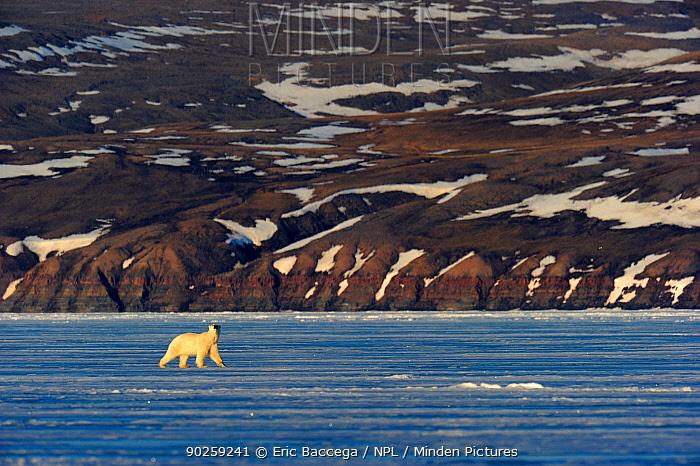 Polar Bear (Ursus maritimus) walking on icepack with arctic coast in the background Floe edge, Arctic Bay, Baffin Island, Nunavut, Canada, April  -  Eric Baccega/ npl