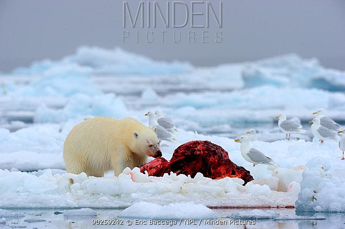 Polar Bear (Ursus maritimus) feeding on a Narwhal (Monodon monoceros) on icepack as gulls wait to scavenge the carcass Floe edge, Arctic Bay, Baffin Island, Nunavut, Canada, April  -  Eric Baccega/ npl