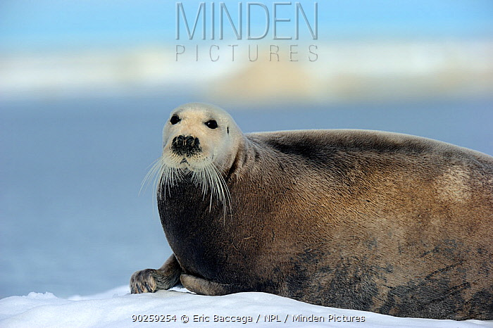 Bearded Seal (Erignathus barbatus) resting on ice Foxe Basin, Nunavut, Canada, April  -  Eric Baccega/ npl