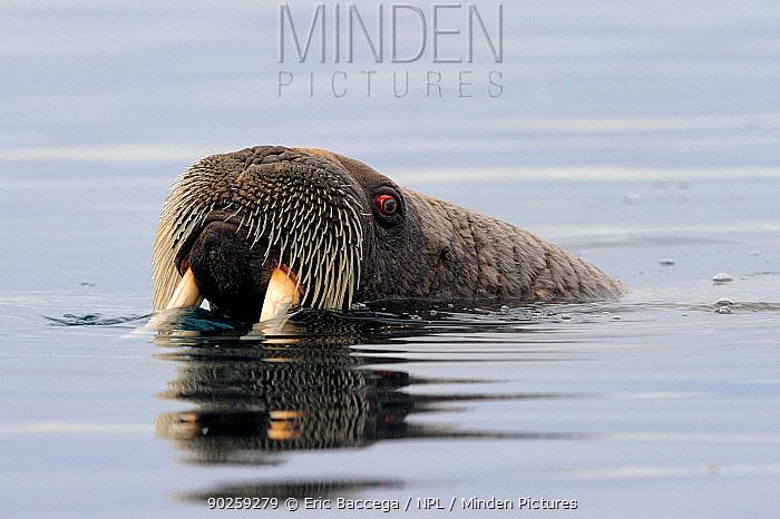 A female Walrus (Odobenus rosmarus) at the water surface Foxe Basin, Nunavut, Canada, April  -  Eric Baccega/ npl