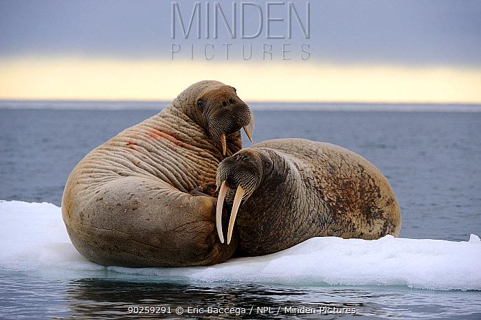 Two Walrus (Odobenus rosmarus) resting on ice Foxe Basin, Nunavut, Canada, July  -  Eric Baccega/ npl
