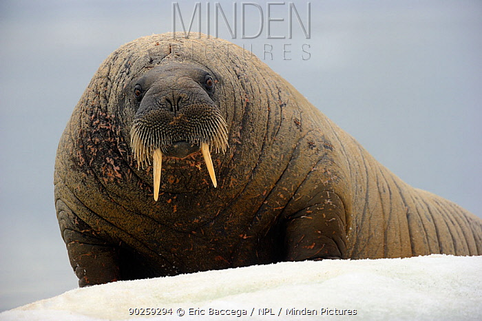 Portrait of a Walrus (Odobenus rosmarus) resting on ice Foxe Basin, Nunavut, Canada, July  -  Eric Baccega/ npl