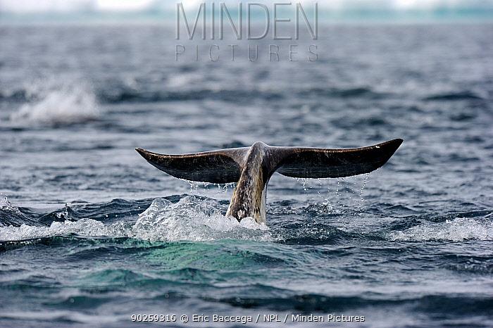 A Narwhal (Monodon monoceros) tail above the sea surface Baffin Island, Nunavut, Canada, April  -  Eric Baccega/ npl
