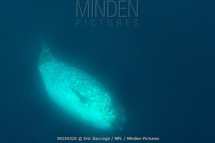 Female Narwhal (Monodon monoceros) underwater Baffin Island, Nunavut, Canada, April  -  Eric Baccega/ npl