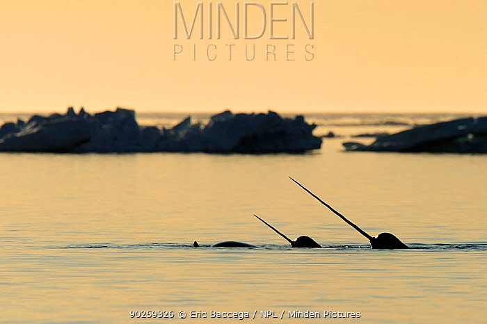 Narwhal (Monodon monoceros) showing tusks above water surface Baffin Island, Nunavut, Canada, April  -  Eric Baccega/ npl
