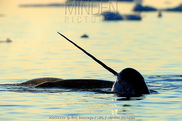 Narwhal (Monodon monoceros) showing tusk above water surface Baffin Island, Nunavut, Canada, April  -  Eric Baccega/ npl