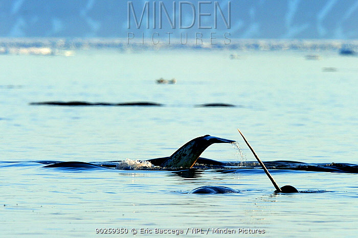 Narwhal (Monodon monoceros) showing tusk and tail above water surface Baffin Island, Nunavut, Canada, April  -  Eric Baccega/ npl