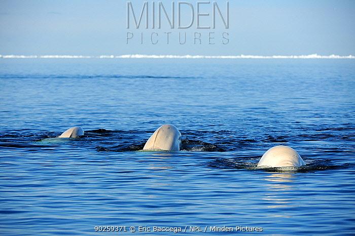 Three Beluga, White Whale (Delphinapterus leucas) swimming at the sea surface during spring migration Baffin Island, Lancaster sound, Nunavut, Canada, June  -  Eric Baccega/ npl