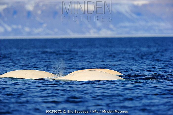 Beluga, White Whales (Delphinapterus leucas) swimming at the sea surface during spring migration Baffin Island, Lancaster sound, Nunavut, Canada, April  -  Eric Baccega/ npl
