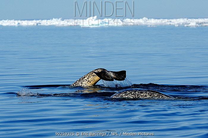 Narwhal (Monodon monoceros) tail fluke above the sea surface Baffin Island, Nunavut, Canada, June  -  Eric Baccega/ npl
