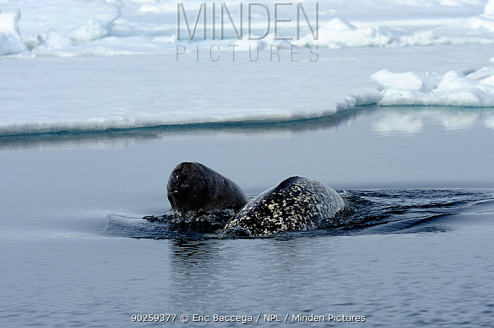 A female Narwhal (Monodon monoceros) surfacing with her yearling calf Baffin Island, Nunavut, Canada, June  -  Eric Baccega/ npl