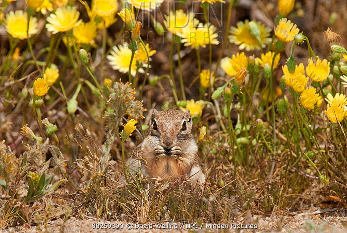 Whitetail Antelope Squirrel (Ammospermophilus leucurus leucurus) feeding in front of wildflowers Joshua Tree National Park, San Bernardino County, California, USA, May  -  David Welling/ npl