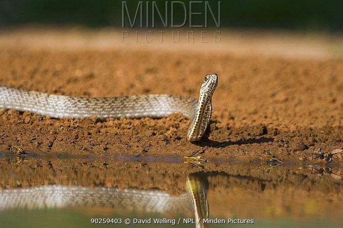 Western Coachwhip Snake (Masticophis flagellum testaceus) by water Rio Grande Valley, Texas, USA, May  -  David Welling/ npl