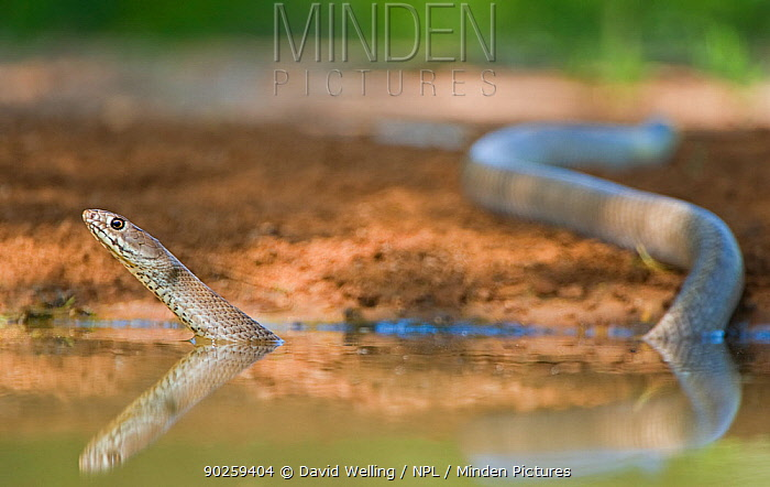 Western Coachwhip Snake (Masticophis flagellum testaceus) in water Rio Grande Valley, Texas, USA, May  -  David Welling/ npl