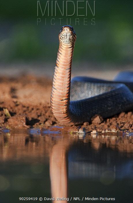Texas Indigo Snake (Drymarchon corais erebennus) looking alert by water Santa Clara ranch, Starr County, Texas, USA, April  -  David Welling/ npl