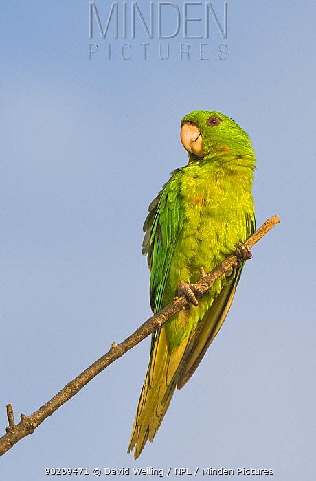 Green Parakeet (Aratinga holochlora) perching Laredo Webb County, Texas, USA, May  -  David Welling/ npl