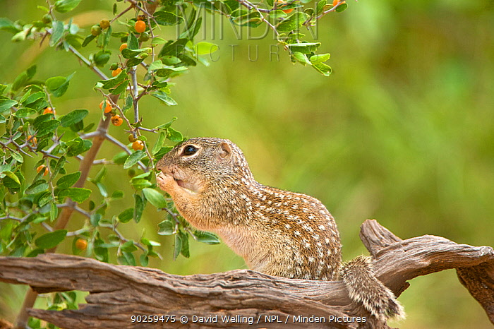 Mexican Ground Squirrel (Spermophilus mexicanus) female foraging for berries Rio Grande Valley, Texas, USA, June  -  David Welling/ npl