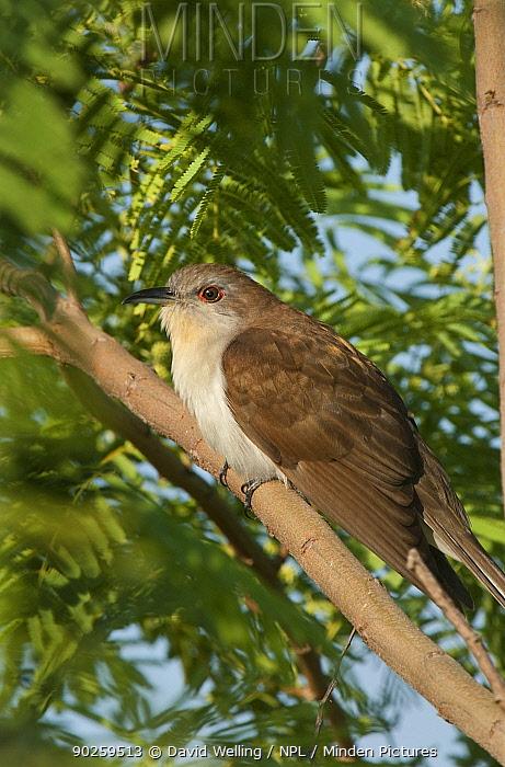 Black-billed Cuckoo (Coccyxus erythropthiamus) perching on a tree limb South Padre Island, Cameron County, texas, USA, April  -  David Welling/ npl