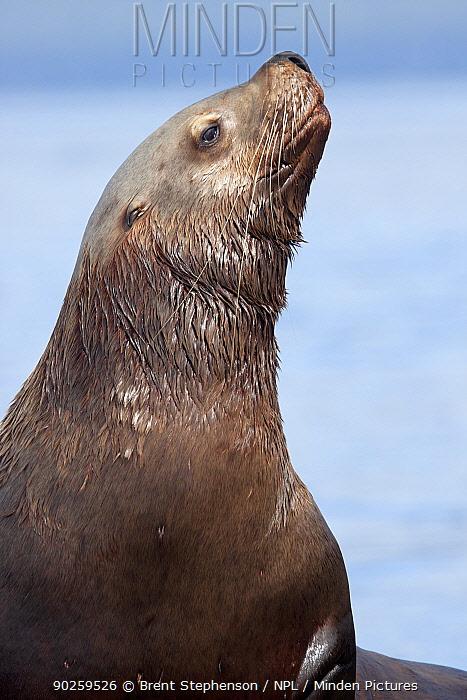 Portrait of a Steller's Sea Lion (Eumetopias jubatus) male The Brothers, Alaska, United States, July  -  Brent Stephenson/ npl