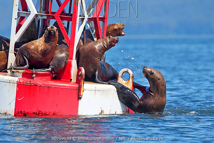 Steller's Sea Lions (Eumetopias jubatus) resting on channel bouy, with one trying to get up onto bouy out of water Petersburg, Alaska, United States, July  -  Brent Stephenson/ npl
