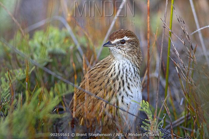 Fernbird (Megalurus punctatus) in dense vegetation on the ground Stockton Plateau, West Coast, New Zealand, April  -  Brent Stephenson/ npl