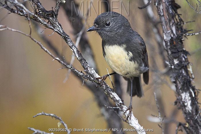 New Zealand Robin (Petroica australis) perching Stockton, New Zealand, April  -  Brent Stephenson/ npl
