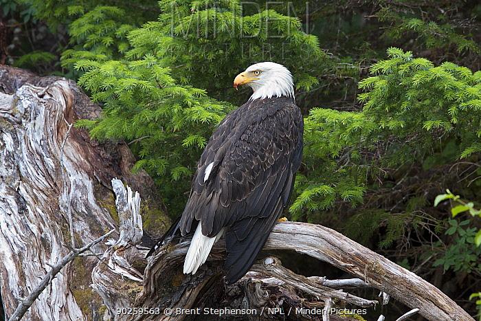 American Bald Eagle (Haliaeetus leucocephalus) perching Prince William Sound, Alaska, United States, July  -  Brent Stephenson/ npl