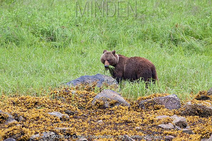 Brown Bear (Ursus arctos) grazing on tall grass near the shoreline Walker Cove, Alaska, United States, July  -  Brent Stephenson/ npl