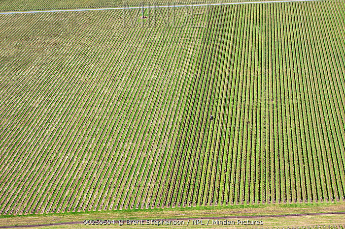 Aerial view of grape vineyard with working tractor Hastings, Hawkes Bay, New Zealand, November 2009  -  Brent Stephenson/ npl