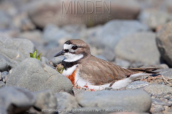 Banded Dotterel, Double-banded Plover (Charadrius bicinctus) male in breeding plumage sitting on nest amongst river stones Ngaruroro River, Hawkes Bay, New Zealand, November  -  Brent Stephenson/ npl