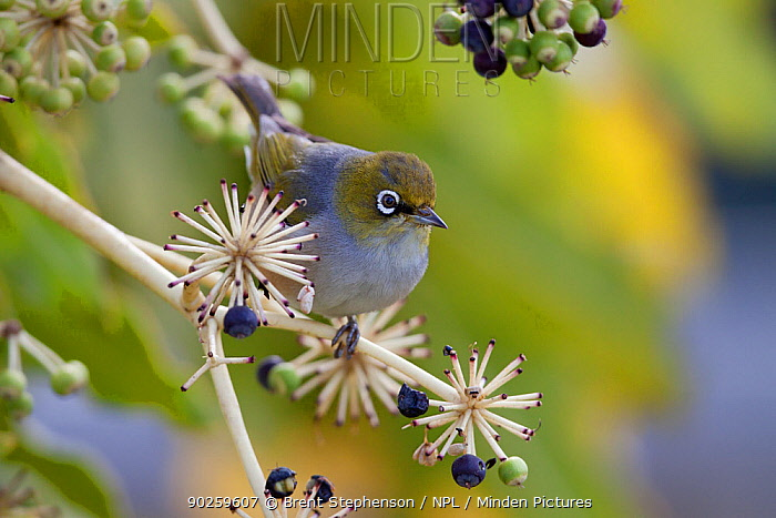 Silvereye, Grey Backed White-eye (Zosterops lateralis) perching in a Japanese Aralia (Fatsia japonica) Havelock North, Hawkes Bay, New Zealand, September  -  Brent Stephenson/ npl