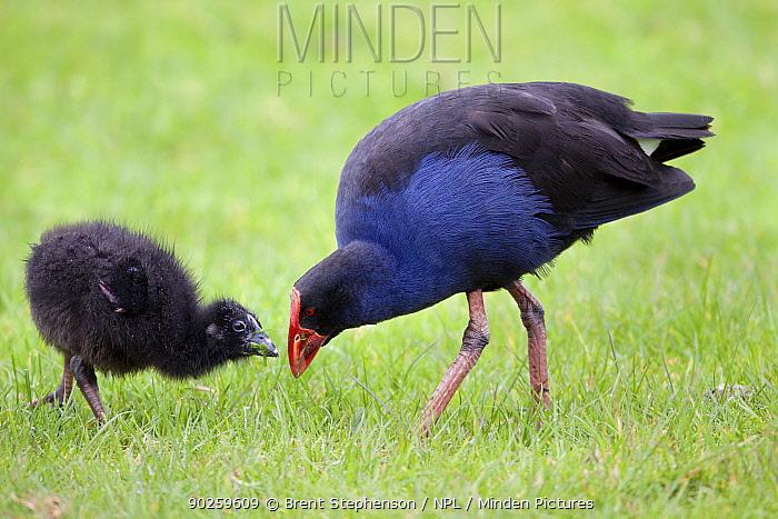 Purple Swamphen, Pukeko (Porphyrio porphyrio) feeding its chick bits of grass stem Tawharanui Regional Park, Auckland, New Zealand, October  -  Brent Stephenson/ npl