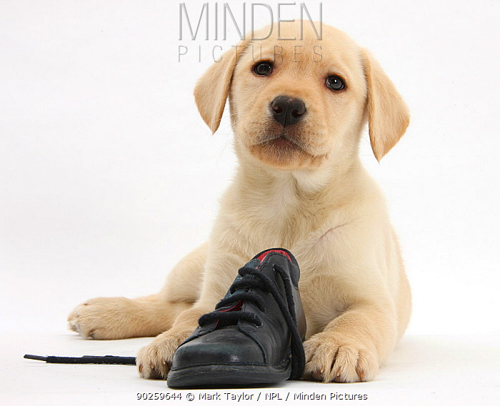 Yellow Labrador Retriever puppy, 8 weeks, with a child's shoe  -  Mark Taylor/ npl