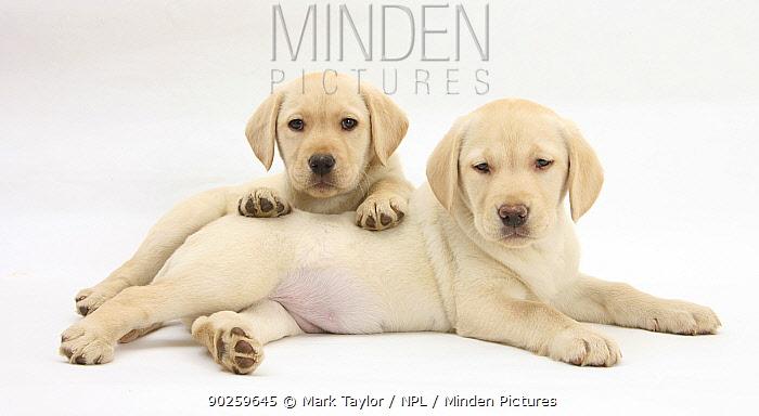 Yellow Labrador Retriever puppies, 8 weeks, lying together  -  Mark Taylor/ npl