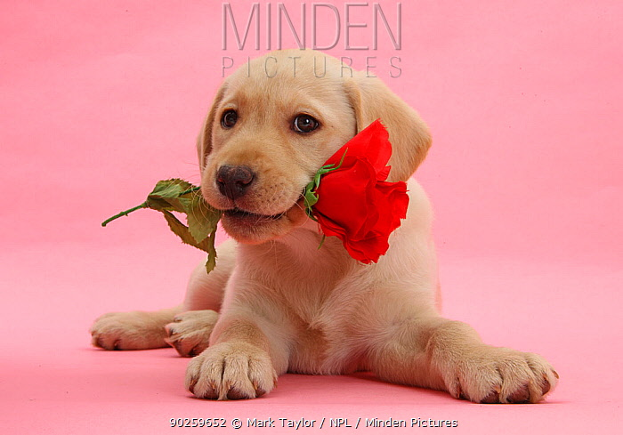 Yellow Labrador Retriever bitch puppy, 10 weeks, with a red rose  -  Mark Taylor/ npl