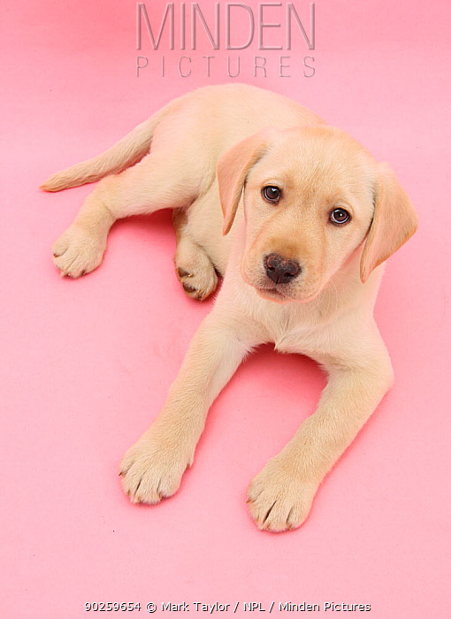 Yellow Labrador Retriever bitch puppy, 10 weeks, lying down and looking up on a pink background  -  Mark Taylor/ npl