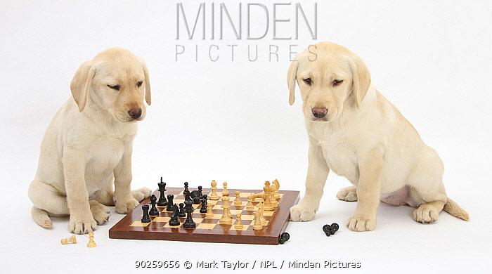 Yellow Labrador Retriever bitch puppies, 10 weeks, playing chess  -  Mark Taylor/ npl