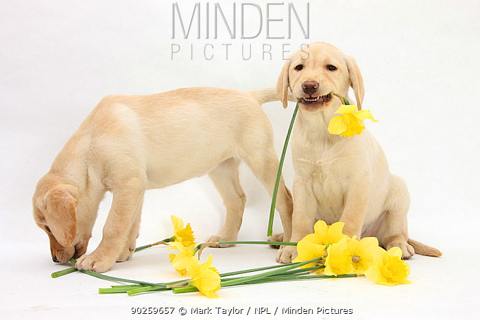 Yellow Labrador Retriever bitch puppies, 10 weeks, lying with yellow daffodils  -  Mark Taylor/ npl