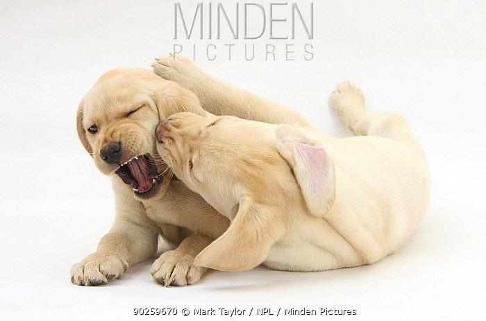 Yellow Labrador Retriever puppies, 9 weeks, play-fighting  -  Mark Taylor/ npl