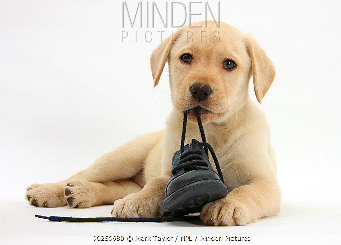 Yellow Labrador Retriever puppy, 8 weeks, chewing a child's shoe  -  Mark Taylor/ npl