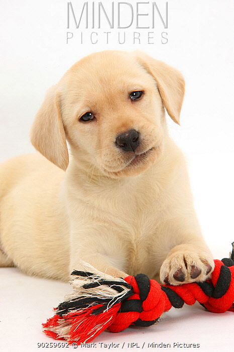 Yellow Labrador Retriever puppy, 9 weeks, with a ragger toy  -  Mark Taylor/ npl