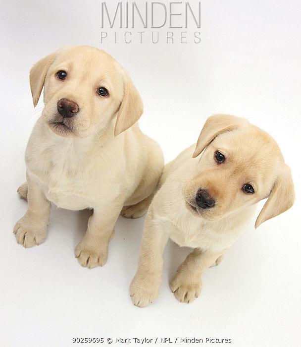 Yellow Labrador Retriever puppies, 8 weeks  -  Mark Taylor/ npl