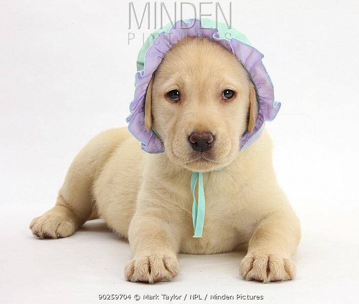 Yellow Labrador Retriever puppy, 7 weeks, wearing a baby's bonnet  -  Mark Taylor/ npl