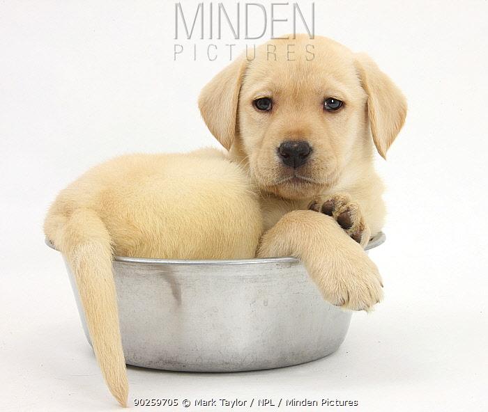 Yellow Labrador Retriever puppy, 7 weeks, in a metal dog bowl  -  Mark Taylor/ npl