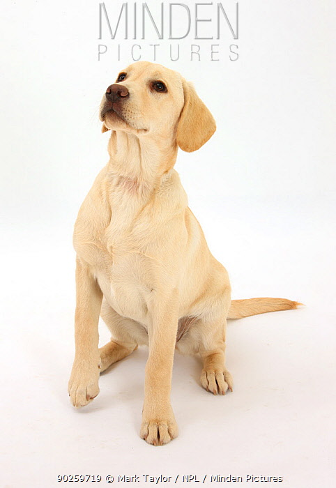 Yellow Labrador Retriever puppy, 5 months, sitting, looking up  -  Mark Taylor/ npl