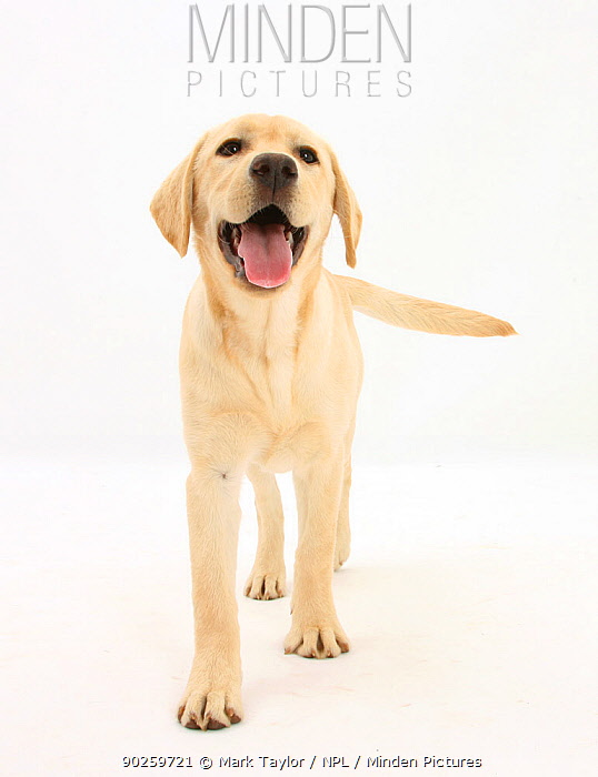 Yellow Labrador Retriever puppy, 5 months, standing  -  Mark Taylor/ npl